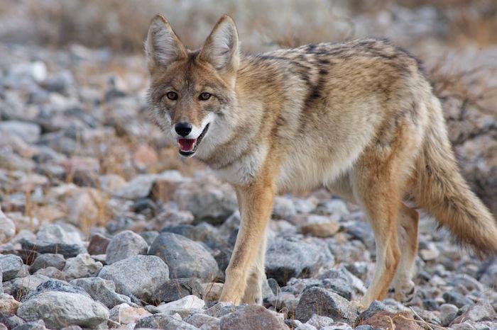 $50 Coyote Bounty